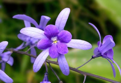Những loài hoa thích hợp với cung hoàng đạo Violet10