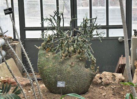 Les plantes Myrmécophiles au jardin botannique de Lyon  Adenia10