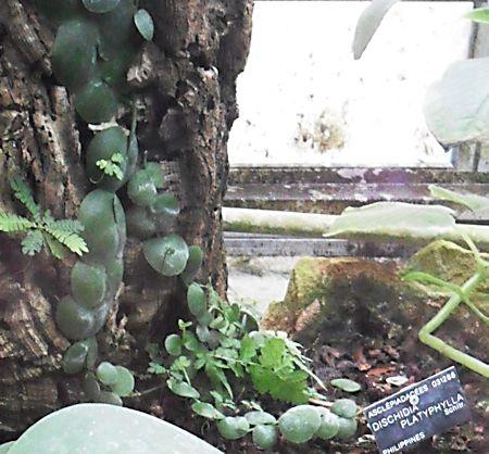 Les plantes Myrmécophiles au jardin botannique de Lyon  Dischi10