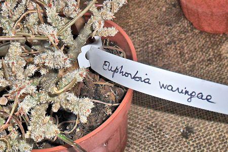 [Résolu] Quel est le nom de ce caudex ? (Euphorbia waringae) Euphor10