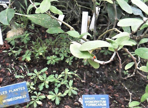 Les plantes Myrmécophiles au jardin botannique de Lyon  Hydnop10