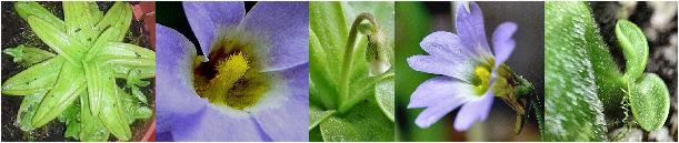 Pinguicula primuliflora fleur bleue P_prim11