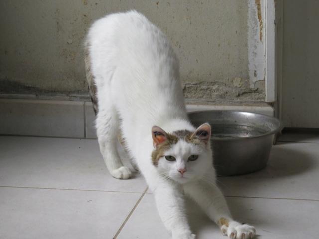 LADY femelle blanche et tigrée 4 ans Img_2610