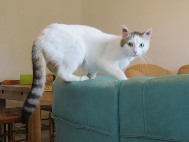 LADY femelle blanche et tigrée 4 ans Img_2611
