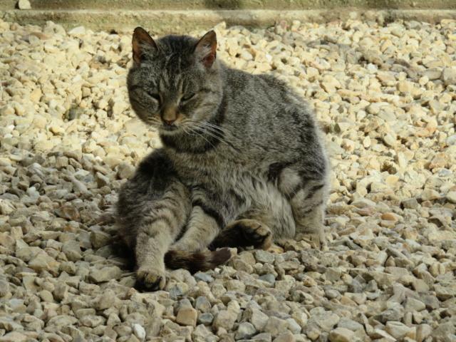 PATAPOUF mâle tigré 7 ans Img_3223