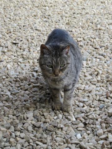 PATAPOUF mâle tigré 7 ans Img_3315