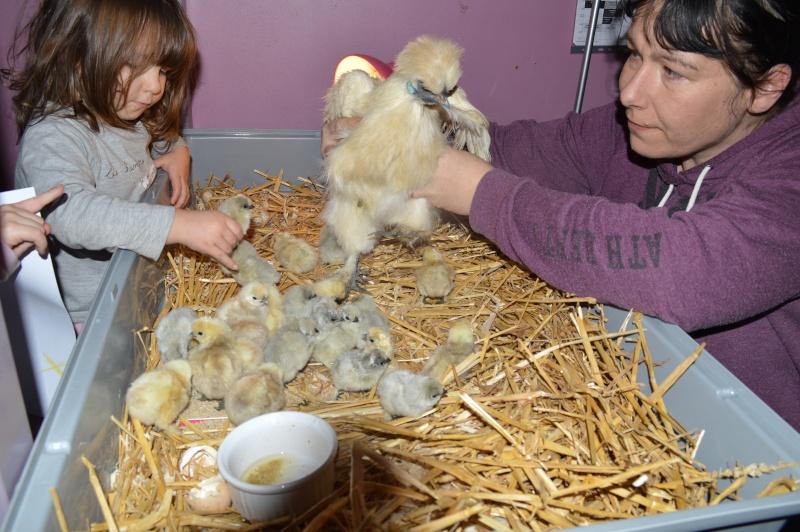 Poussins poule soie blanche nb , poussins gp barbus Soie_014