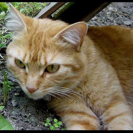 perdu CARAMEL chat roux clair à Rennes (ocyobre 2012) Carame10