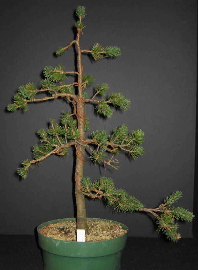 Pinus parviflora 'Zuisho' Zuisho10