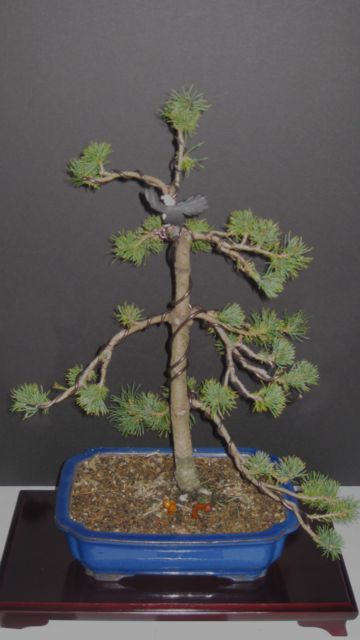 Pinus parviflora 'Zuisho' Zuisho12