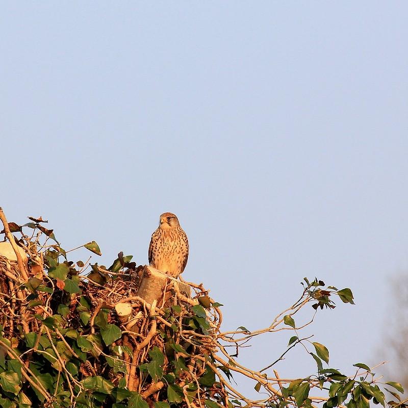 Faucon crecerelle Faucon10
