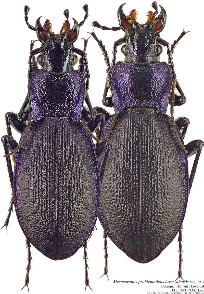 [C.(Mesocarabus) problematicus solutus ] ( = campinus, = belgicus ),  Belgique Mesoca13