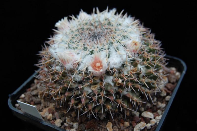 Mammillaria brauneana Affini10
