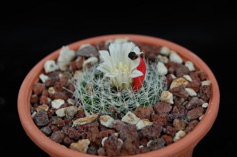 Mammillaria coahuilensis Coahui10