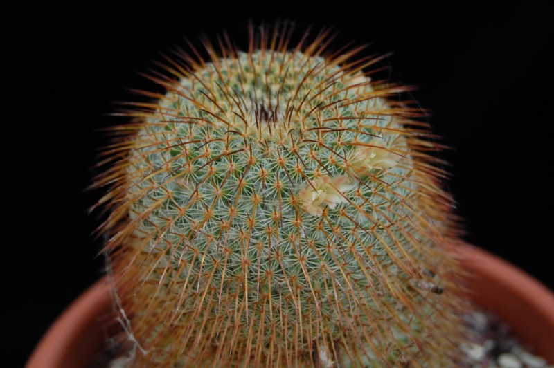 Mammillaria dixanthocentron Dixant10