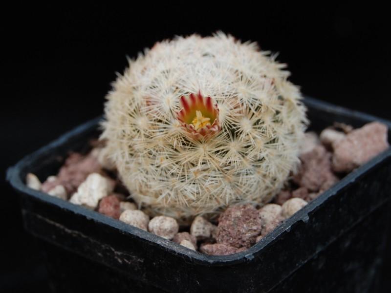 Mammillaria lasiacantha Egregi10