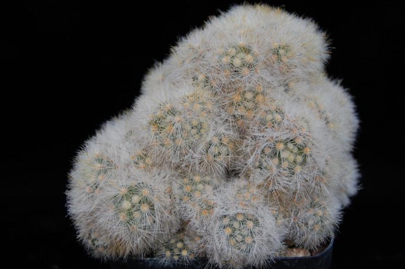 Mammillaria laui Laui_l10