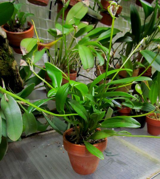 Alaticaulia bennettii (ex. Masdevallia bennettii). Img_1225