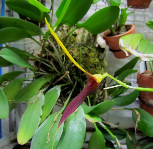 Re-floraison Alaticaulia impostor. Img_1346