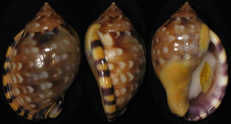 Semicassis labiata - (Perry, 1811)  Ih109310