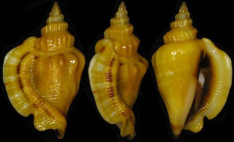 Dolomena pulchella - (Reeve, 1851) Plicat10
