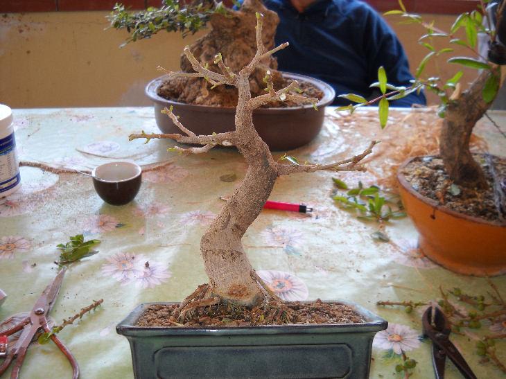 Piccola storia di una talea di ficus rotundifolia. Ficus10