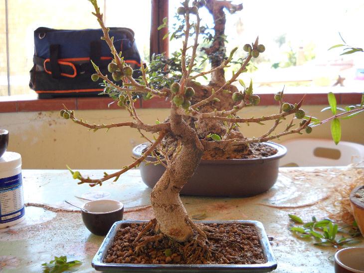 Piccola storia di una talea di ficus rotundifolia. Ficus110