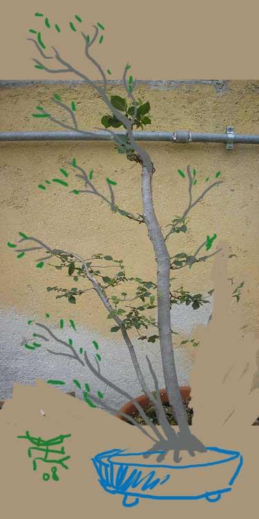 fiori di prunus spinosa Kitora10