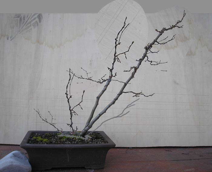 fiori di prunus spinosa Kitora11