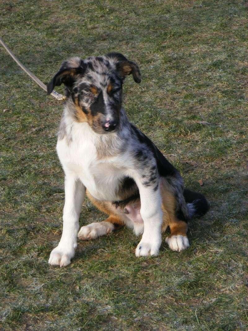 chiot - [Adopté] First X border Chiot de 3 mois, bleu merle poils court First10