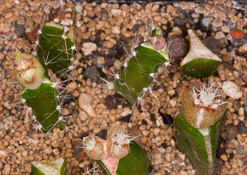 Kaktus Samen Mix aus´m Baummarkt ... - Seite 2 Baumar10