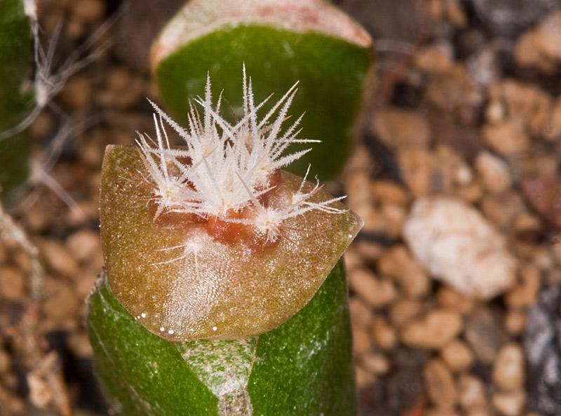 Kaktus Samen Mix aus´m Baummarkt ... - Seite 2 Baumar12