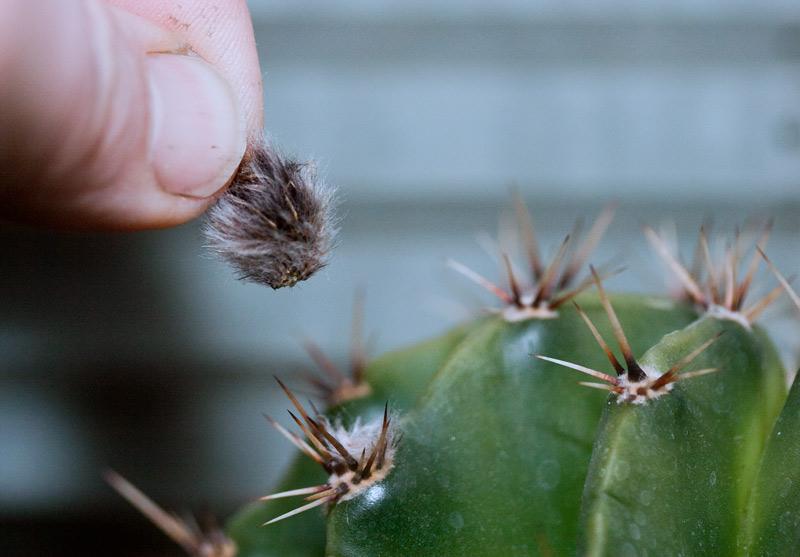 Echinopsis mit Lockenwicklern Echino12