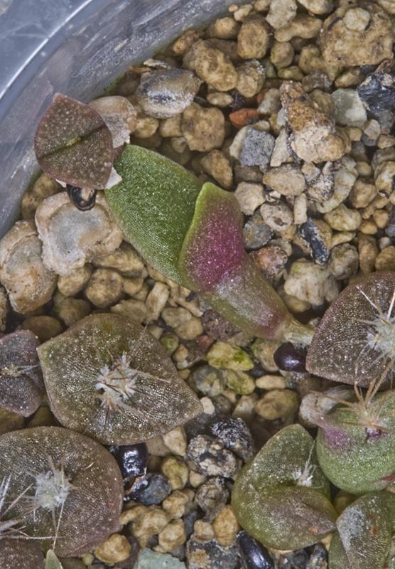 Kaktus Samen Mix aus´m Baummarkt ... - Seite 2 Opunti12
