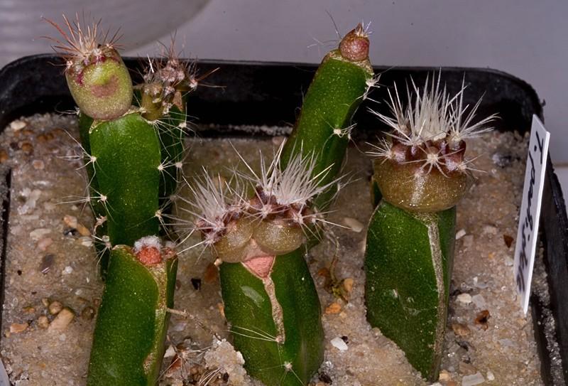 Kaktus Samen Mix aus´m Baummarkt ... - Seite 3 Toom-m10