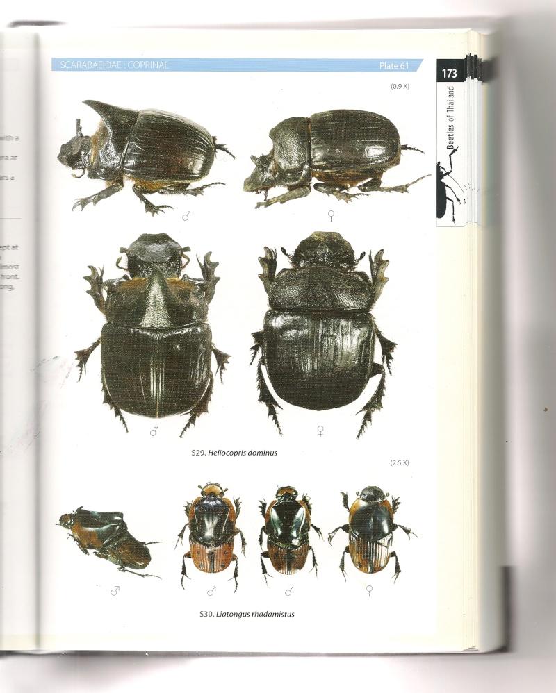 [Heliocopris tyrannus] Heliocopris thaïlandais Helioc12