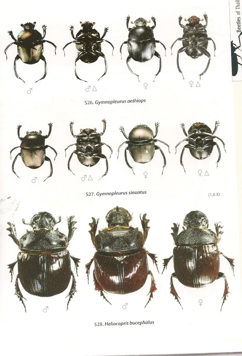 [Heliocopris tyrannus] Heliocopris thaïlandais Helioc13