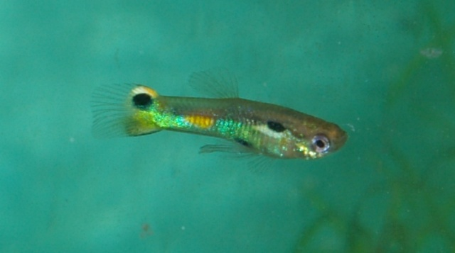 Guppy souche mexicaine Mexico17
