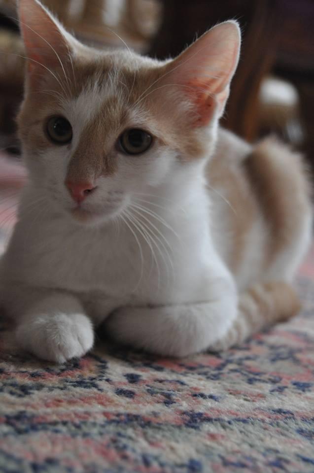 [ADOPTION] Icare petit chaton roux et blanc 13717311