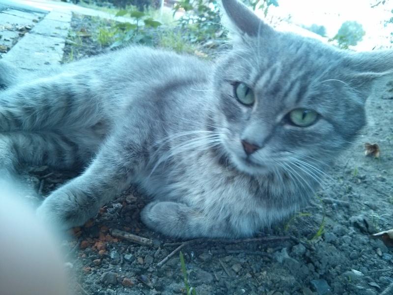 [SAUVETAGE] Emeraude sublime chatte tigrée grise Amerau10