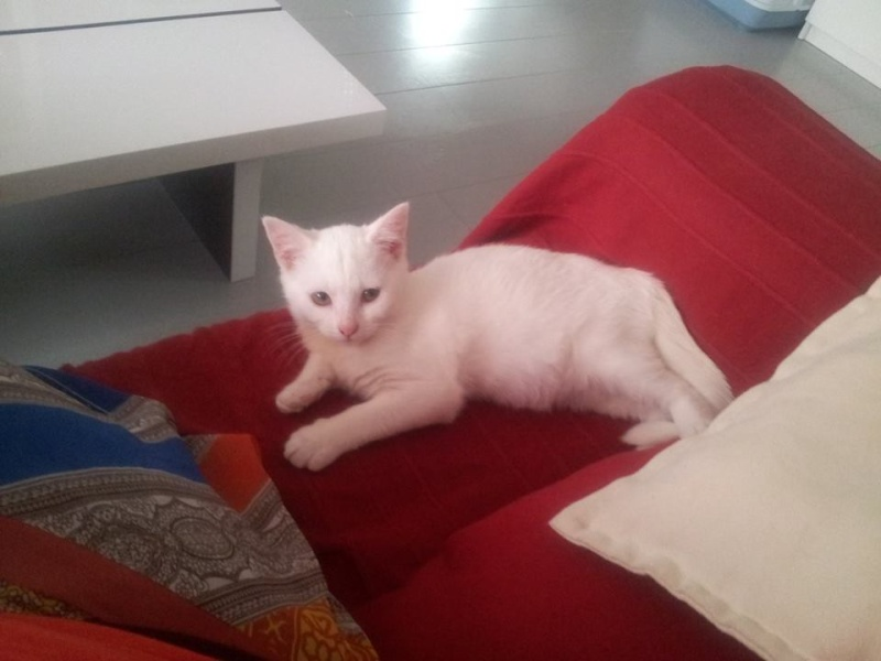 [ADOPTION] Bounty jolie chatonne blanche née en mai 2013 Bounty10