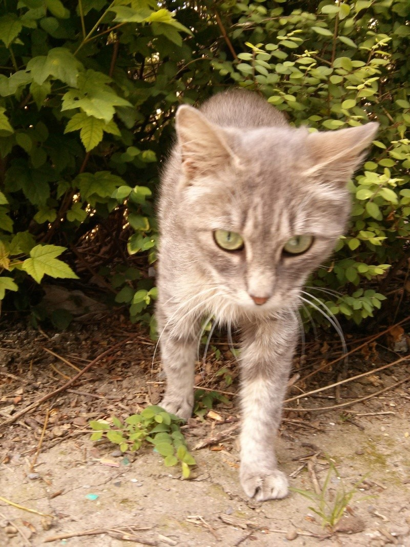 [SAUVETAGE] Emeraude sublime chatte tigrée grise Emerau10