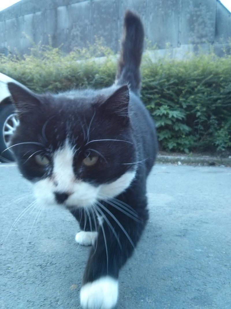 [SAUVETAGE] Gros Pépère beau chat noir et blanc court sur pattes Gros_p10