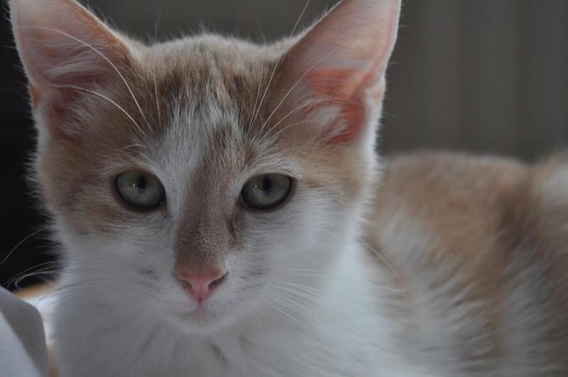 [ADOPTION] Icare petit chaton roux et blanc Icaree10