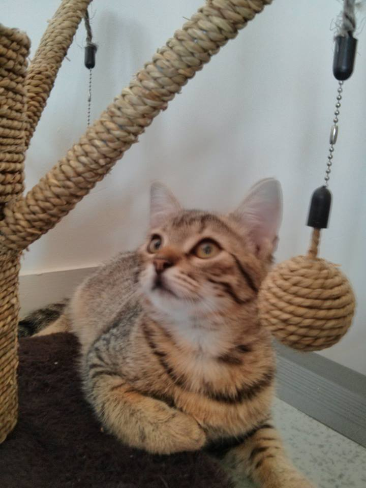 [ADOPTION] Iori chaton tigré marron - VALENCIENNES Iori10