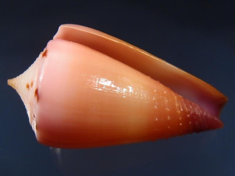 Conus (Strategoconus) circumactus   Iredale, 1929 P2111815