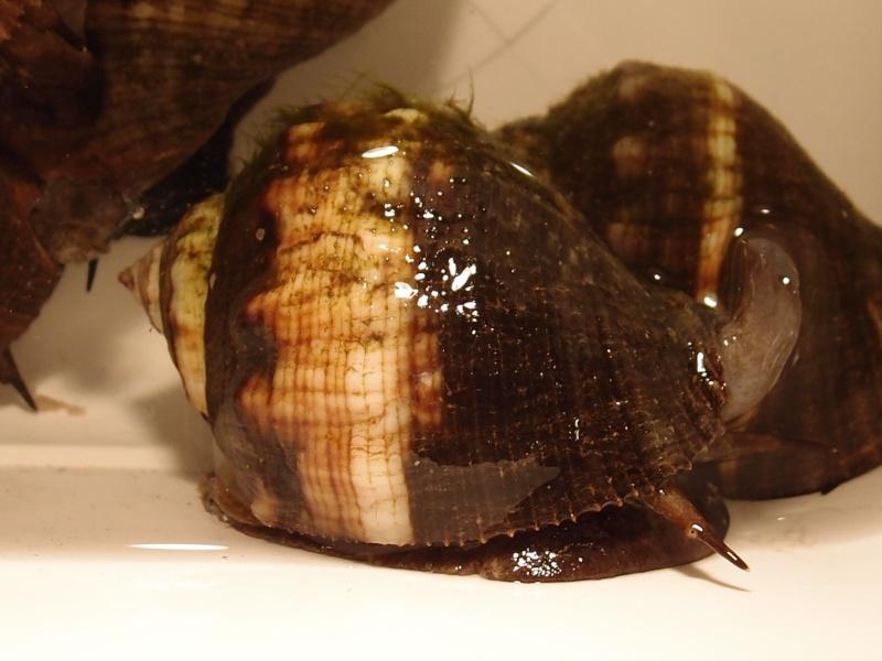 Stramonita haemastoma - (Linnaeus, 1767) P2131910