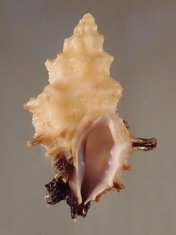 Spinidrupa euracantha - (A. Adams, 1853) P2282111