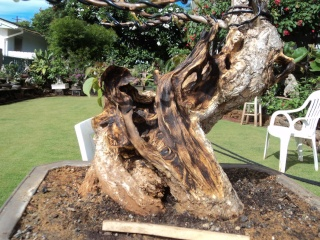 preliminary carving bougainvillea stump Dsc05717