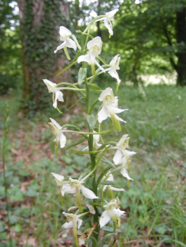orchidée sauvage Dscf0010